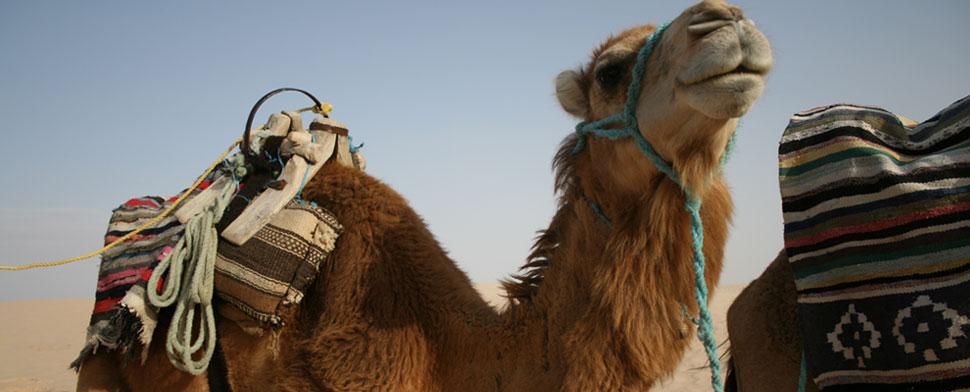 Camello en el desierto del Sáhara
