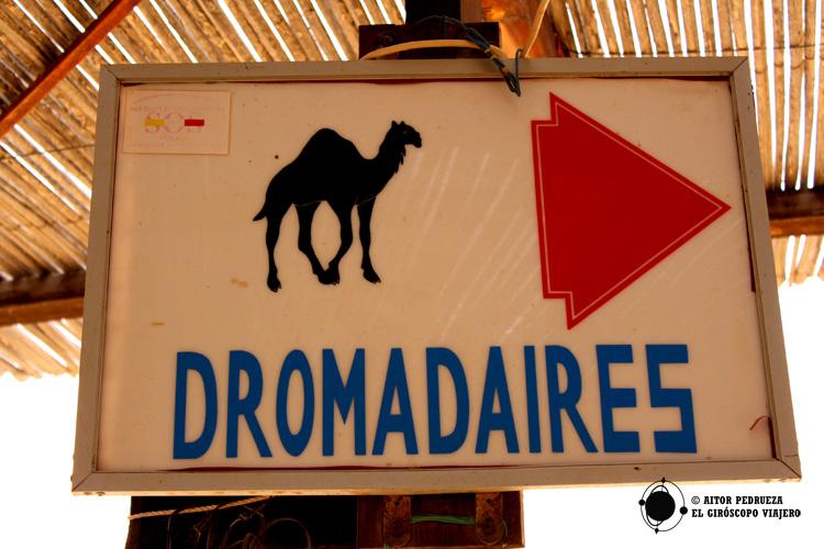 Estación de dromedarios de Douz